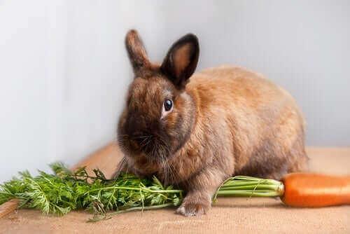 토끼 돌봄: 드워프 토끼는 먹이로 무엇을 먹을까?