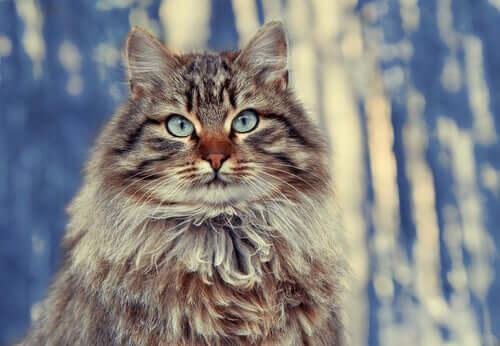 중장모 시베리아 숲 고양이