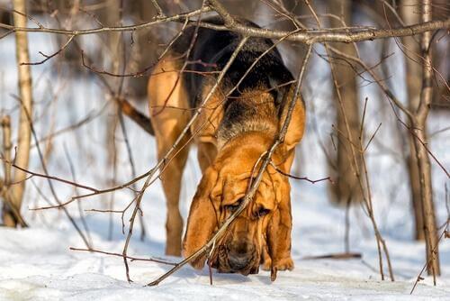 사냥견 블러드 하운드