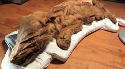 캐나다에서 발견된 새끼 늑대 미라