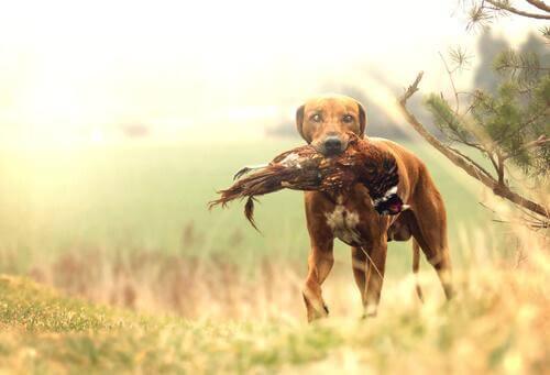 가장 우수한 사냥견 품종은?