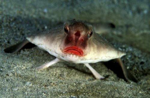 붉은입술박쥐물고기는 어떤 물고기일까