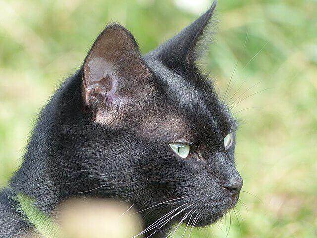 고양이의 귀를 청소하는 방법