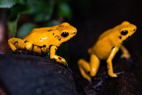 황금 개구리의 식이와 생식