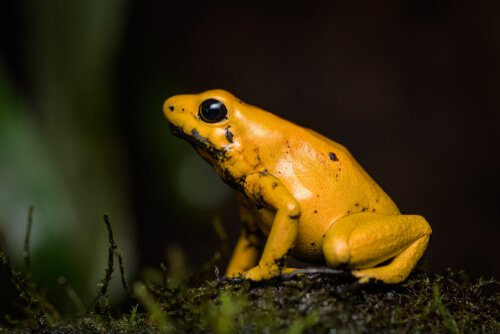 황금 개구리의 특징