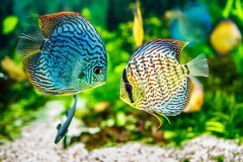 물고기 벨벳병의 원인 및 증상