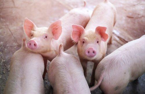 돼지 사육의 역사