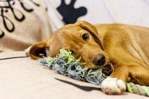개가 씹을 수 있는 장난감을 만드는 방법
