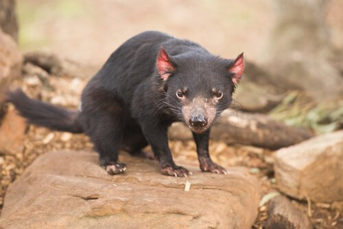 유대목 동물의 왕국, 호주