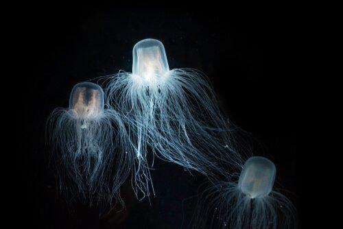 맹독류 해파리의 특징 및 서식지