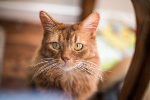 소말리 고양이의 성격 및 돌봄
