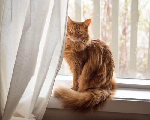 소말리 고양이의 특성
