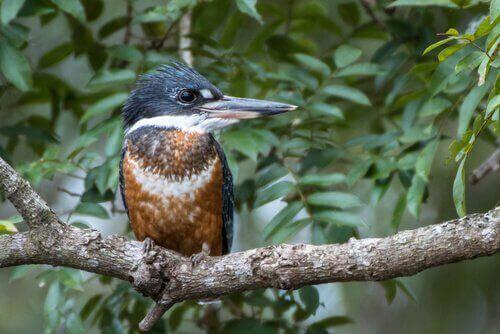 큰물총새의 습성과 번식