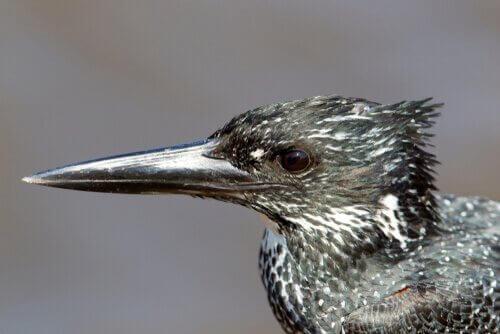 큰물총새의 특성과 서식지