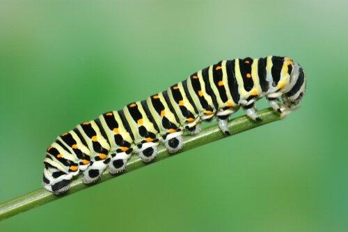 산호랑나비 애벌레
