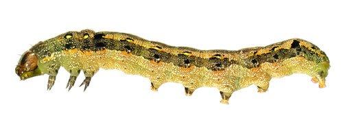 벼금무늬밤나방 애벌레