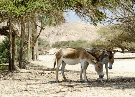 멸종 위기에 처한 아시아당나귀