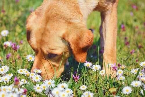 반려동물을 위한 캐모마일의 의학적 효능