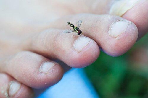 곤충 매개 먹파리