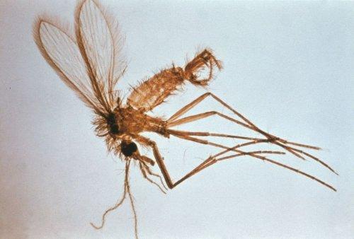 곤충 매개 사상충