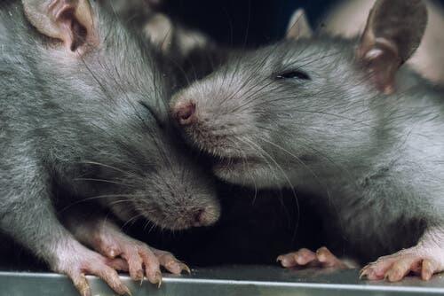 쥐에게도 공감 능력이 있을까?