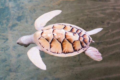 하얀 거북의 알비노