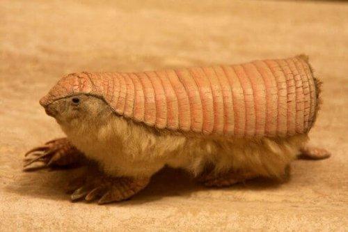 작고 귀여운 요정 같은 애기아르마딜로의 특징