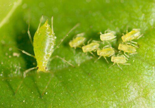 진딧물의 종류와 특징