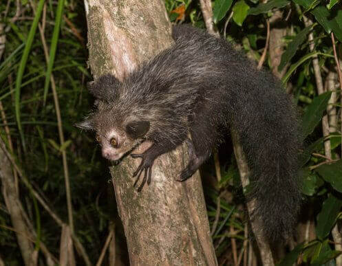 가장 큰 야행성 영장류, 아이아이 원숭이의 특징