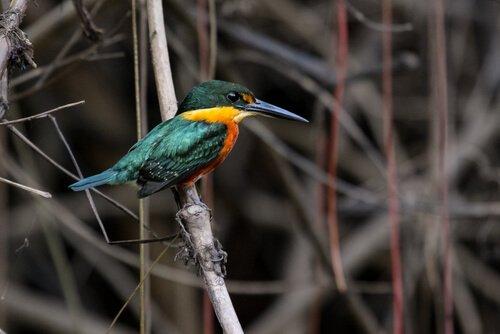 피그미 물총새 특징