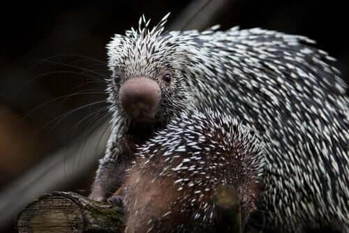나무타기산미치광이는 사랑스러운 포유류