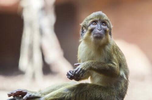 탈라포인 원숭이의 특징 및 서식지