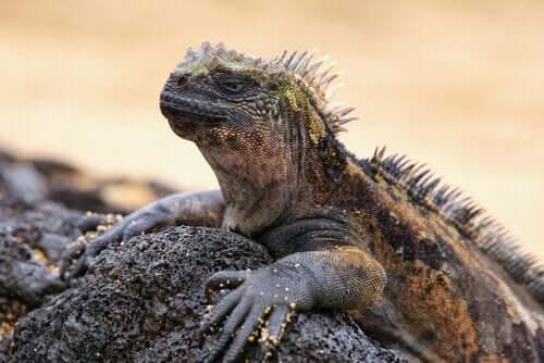 갈라파고스의 지배자, 바다 이구아나의 특징