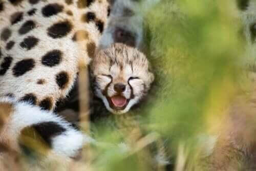 치타의 유전적 특징과 멸종 위기