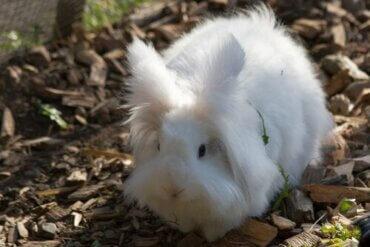 앙고라 드워프 토끼를 돌보는 올바른 방법