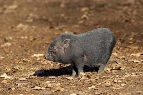 미니 돼지는2