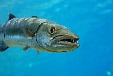 공격적이고 예측 불가능한 바라쿠다는 어떤 물고기일까