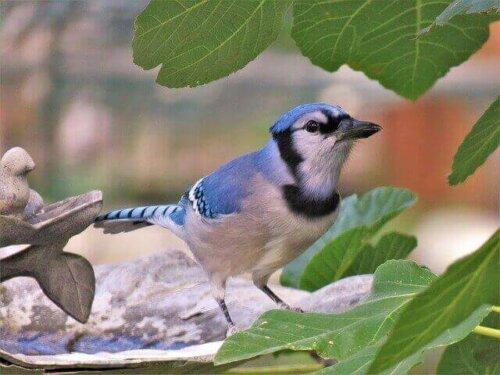 '북미의 보석'으로 불리는 파랑 어치 생태