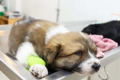 개 혈관염의 원인 및 특징