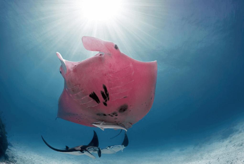 쥐가오리 호주