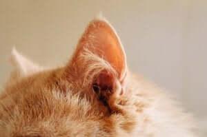 반려묘 귀 청소를 하고 (살아남는) 방법