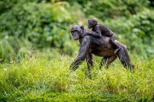 보노보 어미는 새끼의 짝짓기를 돕는다