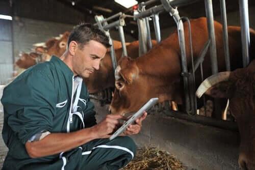 소에 대한 항기생충제 도포 또는 주입