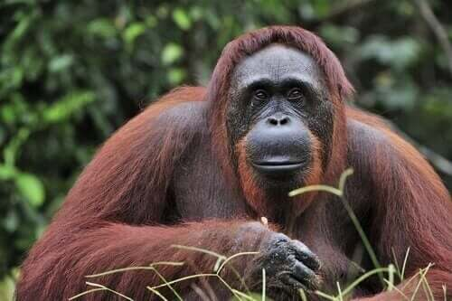 보르네오 오랑우탄의 멸종 위기