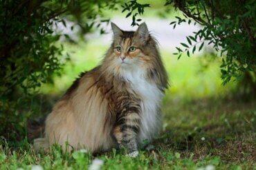 널리 알려지지 않은 노르웨이숲고양이의 특징