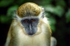 녹색 원숭이의 선천적인 안티 드론 알람