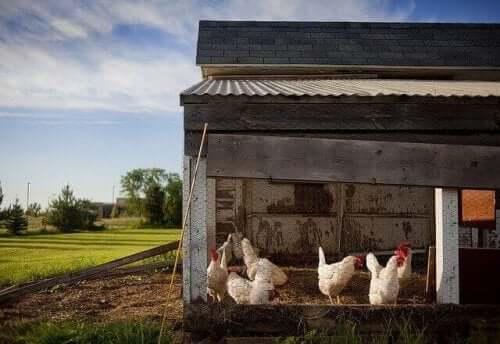 도시에서 닭을 키우는 7가지 단계