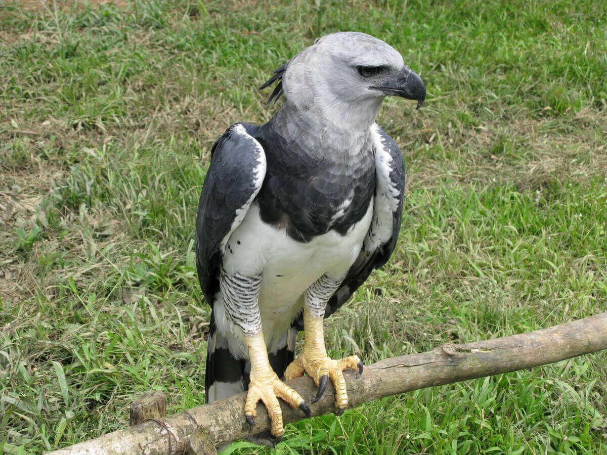 자이언트 하피 독수리의 보존 상태