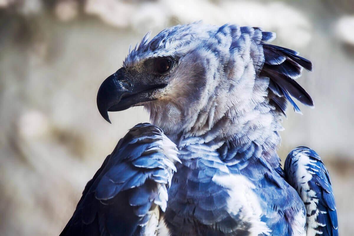 자이언트 하피 독수리의 분류학적 분류