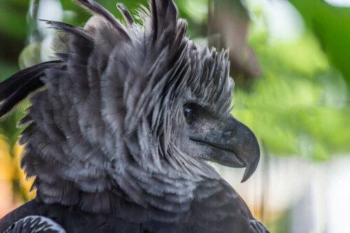 남아메리카의 자이언트 하피 독수리